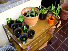 image019 (i_am_charliekay) Tags: nature gardening balcony selfgrown homegrown vegetables veggies flowers tomato tomatoes zuccini pepper peppers pumpkin animals green balconylife