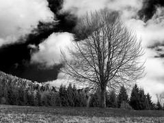 Alberi e nuvole (voste78) Tags: hasselblad digitalbackcf22 zeissc80 nuvole bw natura albero pini prato cielo nature tree blackandwhite outdoors landscape scenics sky ruralscene forest nopeople cloudsky nonurbanscene season beautyinnature woodland grass weather meadow branch everypixel