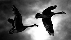 Catching the 'Red Eye' Home (Bob's Digital Eye) Tags: 2017 action birdsinflight blackandwhite bobsdigitaleye canadageese canon canonefs55250mmf456isstm flicker flickr flight geese monotone nature outdoor silhouette t3i waterfowl wildbirds wildlife