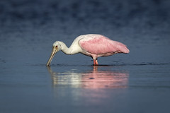 Spoonful of Pink...{Explored} (DTT67) Tags: roseatespoonbill roseate spoonbill bird wader pink nature nationalgeographic wildlife florida southwestflorida dingdarling canon 1dxmkii 500mmii spring gulfcoast colorful 2xtciii