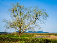 Lone Spring Tree (www.trinterphotos.com) Tags: washington unitedstates us landscape lonetree spring trinterphotos richtrinter
