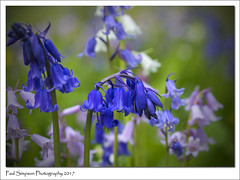 Mayday Bluebells (Paul Simpson Photography) Tags: paulsimpsonphotography nature imagesof imageof photoof photosof bluebells flowers sonya77 naturalworld photosofnature photosofbluebells may2017 petals normanbypark england flower plant garden wild wildflowers