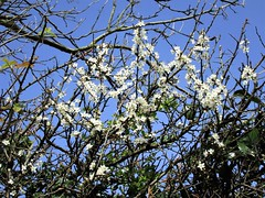 Blackthorn Blossom (JulieK (enjoying Spring in Co. Wexford)) Tags: 100flowers2017 blackthorn blossom tree bluesky ireland irish flowers wexford canonixus170 beautiful nature white ilobsterit