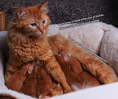 Athena with kittens nursing (youtube.com/utahactor) Tags: athena cat kittens pets animals ginger female rare gato gata chats chatons yellow red orange mackerel tabby fur furbaby whiskers green eyes pink nose kitties four gingerkittiesfour friendsofzeusandphoebe youtube canon 70d videos newborn nursing