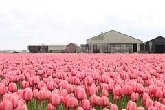 Tulip fields Holland (Ramon Boersbroek) Tags: pink tulips field barn noordwijkerhout lisse hillegom amsterdam noord holland zuid tulpen bollen velden roze schuur april mei dutch nederlands bezoeken visit toeristen tourism excursion one day see beautiful must flower flowers