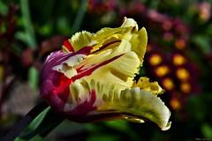 Parrot Tulip (nagyistvan8) Tags: nagyistván túrkeve magyarország magyar hungary nagyistvan8 természet nature papagájtulipán parrottulip virág flower színek colors piros sárga fekete fehér zöld bordó kék szürke red yellow black white green blue grey claret bokeh bokehlicious tavasz spring növény plant ngc 2017 nikon