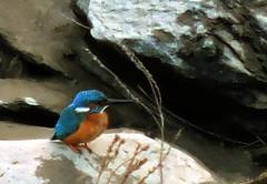 Common Kingfisher, Alcedo atthis (asterisktom) Tags: 2017 trip201617iberiaafrica january portugal mertola bird vogel ave 鸟 niao птица 鳥 commonkingfisher alcedoatthis eisvogel kingfisher europeankingfisher