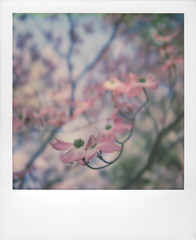 Dogwood 02 | 'RoidWeek Spring 2017 | Monday 2/2 (Juliana Longiotti) Tags: makerealphotos polaroid sx70 colorfilm dogwood blossom flower tree floweringdogwood branch petal springtime springblossoms beautyinnature pinkcolor softcolor film photography nopeople