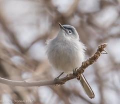What a day for a daydream (rdroniuk) Tags: birds smallbirds passerines gnatcatcher bluegreygnatcatcher polioptilacaerulea oiseaux passereaux gobemoucherongrisbleu gobemoucheron