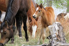 Learning the Ropes (Patricia Henschen) Tags: chicobasinranch ranch colorado coloradosprings headquarters horse horses foal