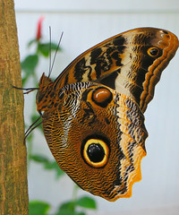 Key West (Florida) Trip 2016 2094Ri 5x6 (edgarandron - Busy!) Tags: florida keys floridakeys keywest butterflyhouse keywestbutterflyandnatureconservatory butterfly butterflies owlbutterfly caligo