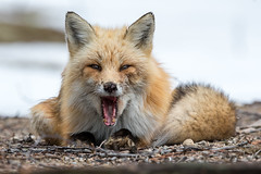 Red Fox (Watchdog Images) Tags: d500 nikon nature nikkor nikond500 dx