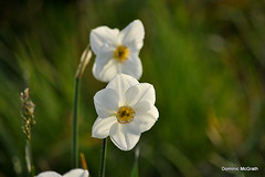 White Narcissus. (mcgrath.dominic) Tags: narcissus daffodils botanicgardens kilmacurragh cowicklow