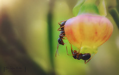 working together (BaRon_Pix) Tags: forest eyes nature macro animals plants germany insects wildlife makro close up ant blossom ants bug beauty springtime compound teamwork working together