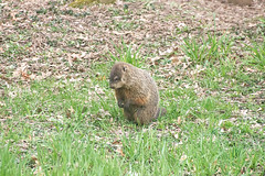 ground hog 4-19-17 3 (sw_bobster) Tags: groundhog woodchuck mammal wild