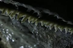 "Curtains Forming ""Explored"" (Derbyshire Harrier) Tags: curtains limestone peakdistrict peakpark whitepeak viagellia underground leadmining mine tunnel exploring geology 2017 solutionfeatures formations macro 105mm derbyshire jacobsdreammine shadow droplets karst goodfriday easter speleothem explore explored"