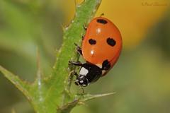 seven-spot ladybird (Coccinella septempunctata) (Raed Shorrosh) Tags: taxonomy:kingdom=animalia animalia taxonomy:phylum=arthropoda arthropoda taxonomy:subphylum=hexapoda hexapoda taxonomy:class=insecta insecta taxonomy:subclass=pterygota pterygota taxonomy:order=coleoptera coleoptera taxonomy:suborder=polyphaga polyphaga taxonomy:infraorder=cucujiformia cucujiformia taxonomy:superfamily=coccinelloidea coccinelloidea taxonomy:family=coccinellidae coccinellidae taxonomy:subfamily=coccinellinae coccinellinae taxonomy:tribe=coccinellini coccinellini taxonomy:genus=coccinella coccinella taxonomy:species=septempunctata taxonomy:binomial=coccinellaseptempunctata ナナホシテントウ seitsenpistepirkko 칠성무당벌레 sevenspottedladybeetle coccinelleàseptpoints coccinellacomune marietadesetpunts sevenspottedladybird siebenpunkt coccinellaseptempunctata zevenstippeliglieveheersbeestje siebenpunktmarienkäfer 七星瓢蟲 семиточечнаякоровка catarinadesietemotas מושיתהשבעפרתמשהרבנו sevenspotladybird sevenspottedladybug joaninhadesetepintas catarinadesietepuntos c7 taxonomy:common=ナナホシテントウ taxonomy:common=seitsenpistepirkko taxonomy:common=칠성무당벌레 taxonomy:common=sevenspottedladybeetle taxonomy:common=coccinelleàseptpoints taxonomy:common=coccinellacomune taxonomy:common=marietadesetpunts taxonomy:common=sevenspottedladybird taxonomy:common=siebenpunkt taxonomy:common=zevenstippeliglieveheersbeestje taxonomy:common=siebenpunktmarienkäfer taxonomy:common=七星瓢蟲 taxonomy:common=семиточечнаякоровка taxonomy:common=catarinadesietemotas taxonomy:common=מושיתהשבעפרתמשהרבנו taxonomy:common=sevenspotladybird taxonomy:common=sevenspottedladybug taxonomy:common=joaninhadesetepintas taxonomy:common=catarinadesietepuntos taxonomy:common=c7 inaturalist:observation=5888219