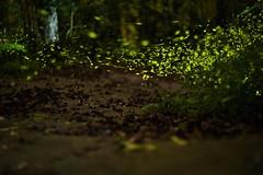 firfly4 (zhes61036103) Tags: firefly 螢火蟲 森林 螢光 樹林 散景