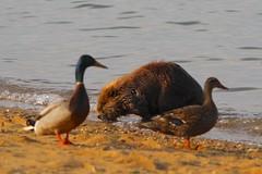 Beaver and Ducks (Piedmont Fossil) Tags: sandypoint state park maryland chesapeake bay beaver mammal wildlife bird duck