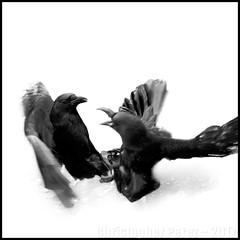 Corbeau ~ Paris, France (Christopher Mark Perez) Tags: crow crows corvid corvids birds birdsinflight paris france