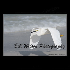 flight snowy egret (wildlifephotonj) Tags: snowyegret egret egrets wildlifephotography wildlife nature naturephotography wildlifephotos naturephotos natureprints birds bird wadingbirds shorebirds beachbirds