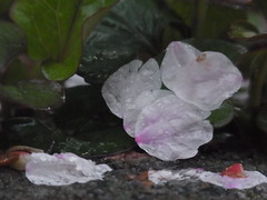 (nofrills) Tags: rain weather water raindrops raindrop waterdrops waterdrop petal petals cherry cherryblossom cherryblossoms 桜 ソメイヨシノ urbannature flora floral flower flowers blossom blossoms ドクダミ houttuyniacordata fishmint
