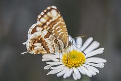 Lampides Boeticus 🌼 (Julieta Portel) Tags: mariposa butterfly jardínvertical caixaforum patrickblanc margarita daisy macro flores flower lampidesboeticus