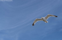 Seagull (Ellacott Photography) Tags: editing lightroom photography nikond3100 cambersands eastsussex camber seagull bird nature animal