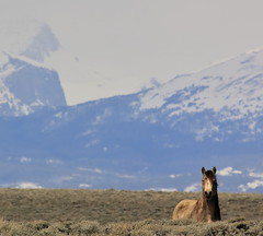 Peak-a-Boo (chad.hanson) Tags: mustangs wyoming wildhorses wind river range windriverrange windrivermountains wildlife