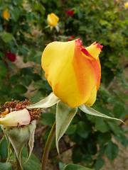 Rosas (4) (calafellvalo) Tags: floresspringamapolaspoppycalafellvalorosasroses rosas roses amapolas redpoppy roselles flors flerus flowers garden jardines calafellvalo santjordi cervantes chaquespeare perfumes spring primavea colores
