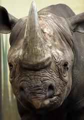 puntlipneushoorn blijdorp JN6A3441 (joankok) Tags: rhino rhinoceros blackrhinoceros zwarteneushoorn puntlipneushoorn mammal zoogdier dier animal africa afrika blijdorp