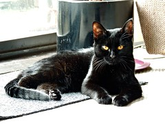 I'm in charge (knightbefore_99) Tags: kitty cat chat gato black cute noir furry feline look golden eyes pretty baby sweet kitten