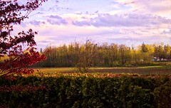 My View (robinlamb1) Tags: landscape nature hedge cedars outdoor japanesemaple trees field pastelsky goldenhour aldergrove