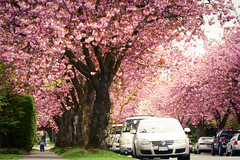 The Last Wave of Cherry Blossoms - Prunus Kanzan (関山)(八重桜), in Vancouver BC Canada (TOTORORO.RORO) Tags: bc canada greatervancouver britishcolumbia colors vancouver nature living walk life cherryblossoms cherryblossom cherry blossom sakura sakula spring flower festival vancouvercherryblossomfestival tree street 桜