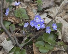Blue Buttercups (eddee) Tags: wisconsin park parksandrecreation nature environment kettlemoraine stateforest northernunit zillmertrail forest woods flowers wildflowers