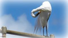 All Bent Out of Shape (Suzanham) Tags: greategret twisting neck perched egret bird plumage feathers white mississippi noxubeewildliferefuge bending wildlife nature outdoor rail sky blue fantasticnature