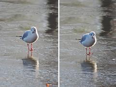 (lea duveau) Tags: fishing bird frozen water nature white light winter lake garden