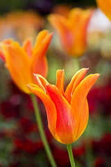 ClementineTulip (Jamart 2010) Tags: summer spring flowers tulips blossoms orange purple pink dandelion