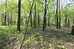 Spring 2017-04-30 [13/26] (Pascal Volk) Tags: berlin berlinlichtenberg lichtenberg landschaftsparkherzberge natur nature naturaleza pflanze plant planta wald bäume trees wideangle weitwinkel granangular superwideangle superweitwinkel ultrawideangle ultraweitwinkel ww wa sww swa uww uwa spring frühling primavera canoneos6d canonef1635mmf4lisusm 16mm forest