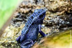 Blauer Baumsteiger - Blue Poison Frog (Marc Wildenhof) Tags: macro animal zoo frankfurt frog gift poison frosch nahaufnahme tier baumsteiger