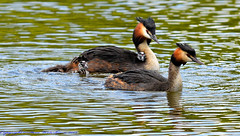 Great Crested Grebes and chicks. (spw6156 - Over 8,683,068 Views) Tags: copyright steve great © iso cropped chicks crested waterhouse grebes 800d800150500mm lensheavily