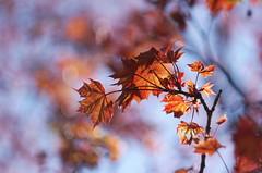 maple (B. Rad) Tags: tree leaves spring maple pentax k7 helios44 helios44k458mmf20