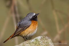 Redstart (Andy Morffew) Tags: male wales redstart naturethroughthelens gilfachfarm birdperfect andymorffew morffew