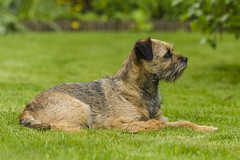 Surveillance (Mariette80) Tags: dog chien pets easy borderterrier