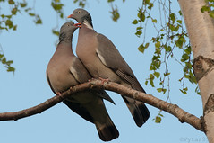 Wood pigeon's wedding 5 (Vytas999) Tags: wedding birds spring nikon couple 300mm twobirds woodpigeon springevening vytas999 woodpigeonswedding