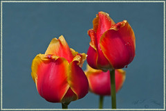 The rain just stopped (atranswe) Tags: red orange yellow sweden tulip sverige gul rd tulpan svenskafotografer dsc2184 atranswe svenskaamatrfotografer vja vstranorrland latn625818lone17427 ranindropps regndropppar