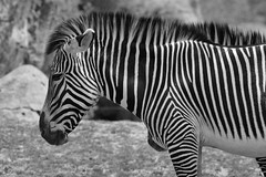Toronto Zoo - May 20/13 - Zebra (Katherine Ridgley) Tags: africa toronto zoo zebra torontozoo