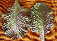 beautiful collard leaves from the farmer's market (j_anxious) Tags: vegan plantbased
