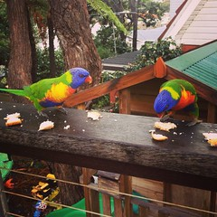Pretty Lorikeets having a feed (jz1408) Tags: travel blue red tree green bird nature colors birds yellow birdie bread outdoors education colorful pretty colours feeding earth watching birding sydney environmental parrot australia deck porch nsw tropical colourful lorikeets watcher enviro cronulla hugger uploaded:by=flickrmobile flickriosapp:filter=nofilter