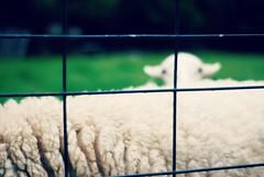 sheepishly (lolaperl::maria) Tags: fence sheep hff fencefriday